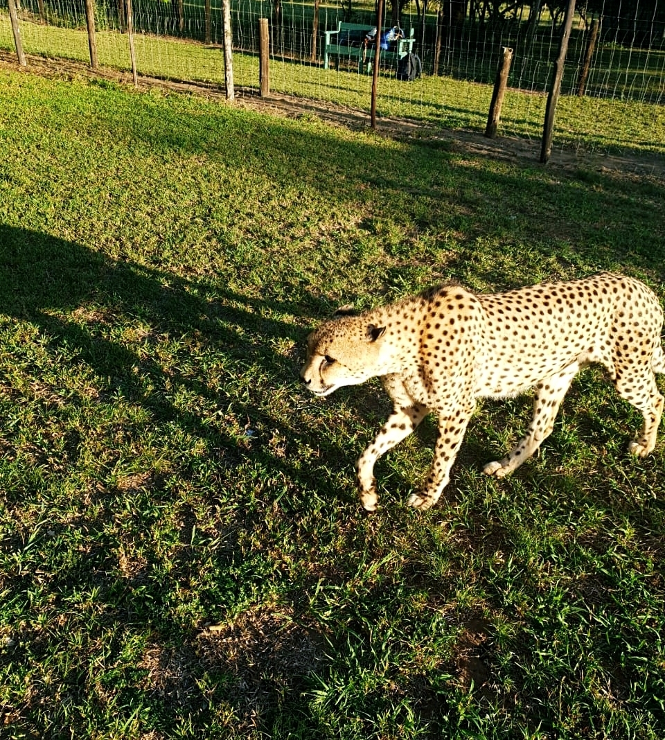 EMDONENI CHEETAH